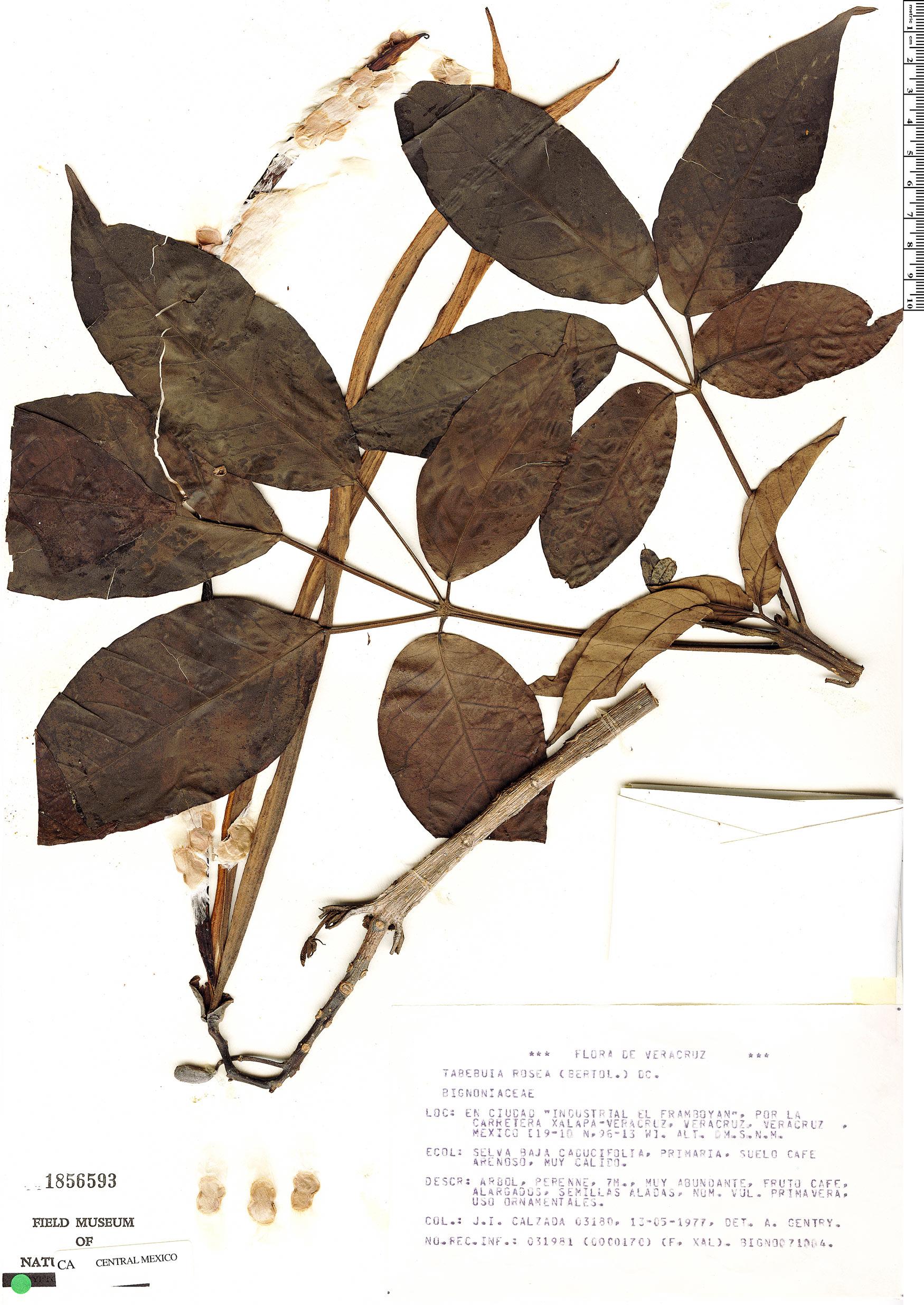 Specimen: Tabebuia rosea