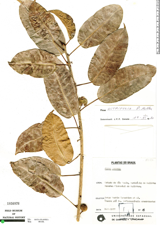 Espécimen: Ficus citrifolia