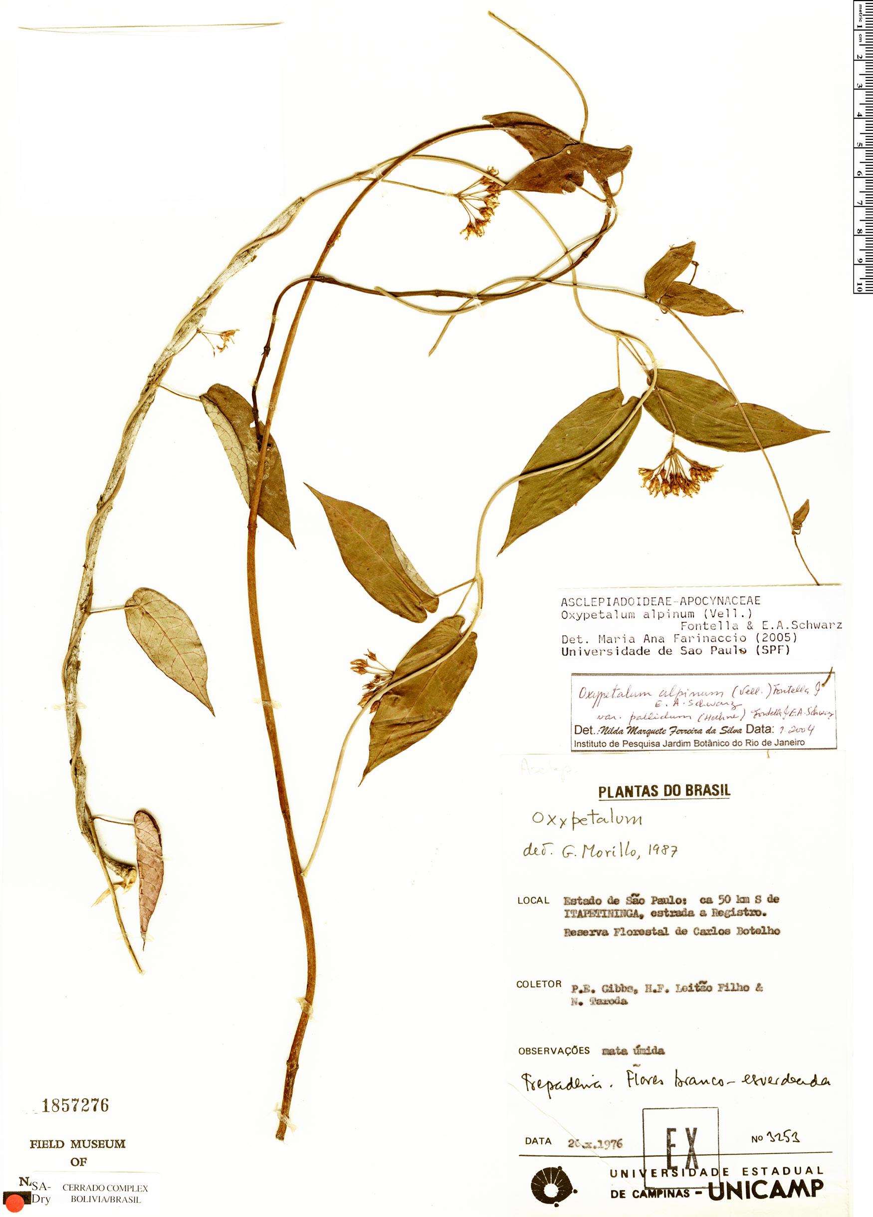 Specimen: Oxypetalum alpinum