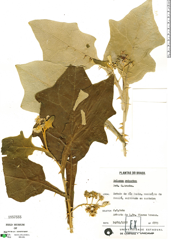 Specimen: Solanum robustum