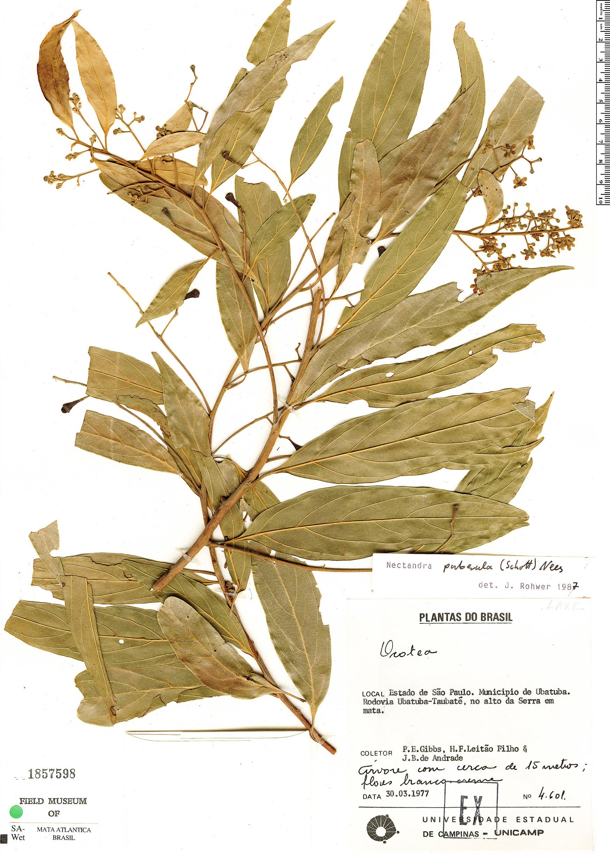 Specimen: Nectandra puberula