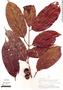 Casearia pitumba Sleumer, Peru, A. H. Gentry 18383, F