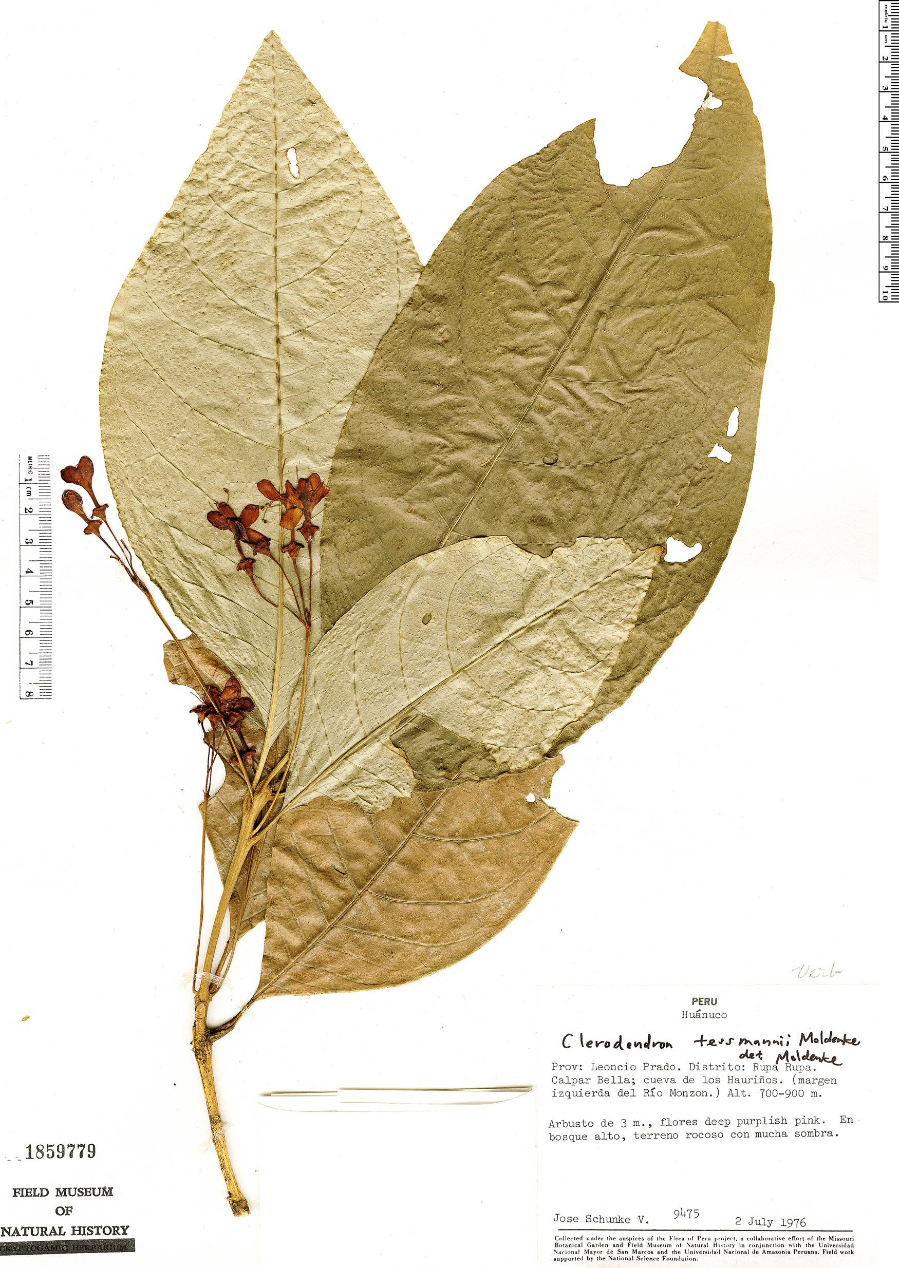 Specimen: Aegiphila triflora