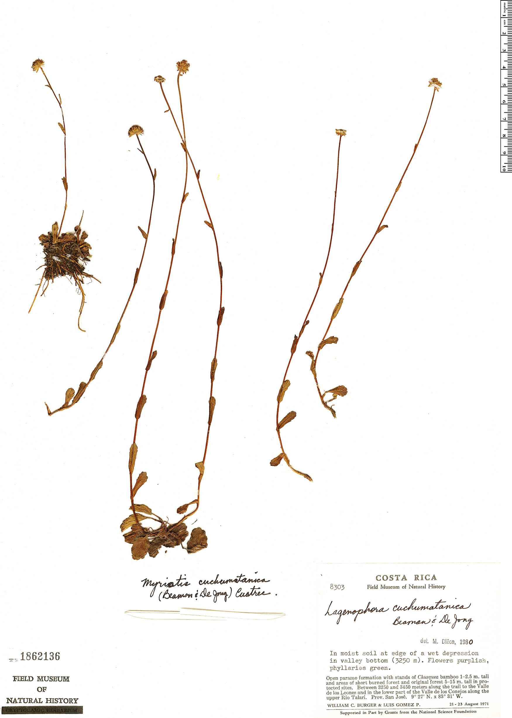 Specimen: Myriactis cuchumatanica
