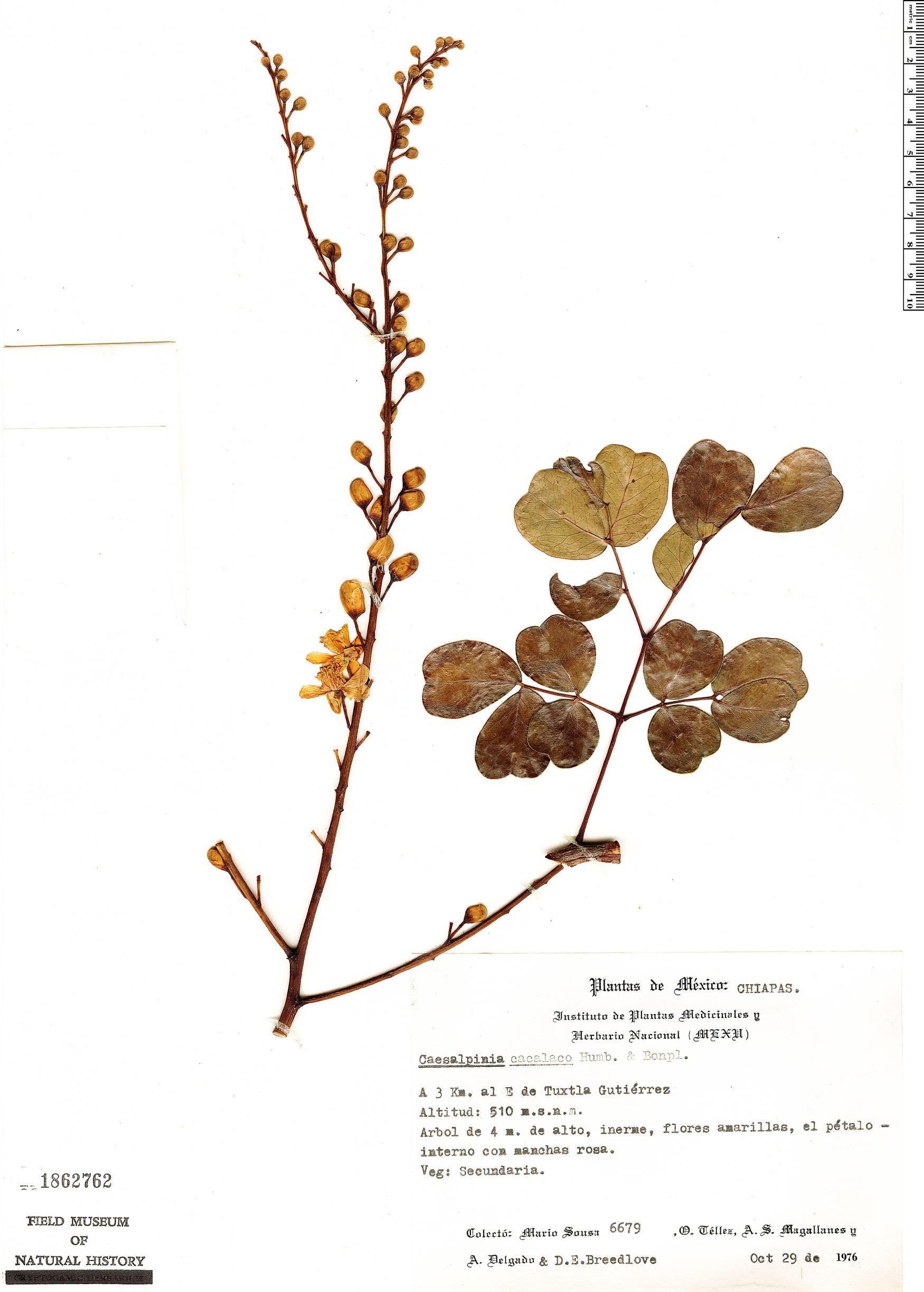Caesalpinia cacalaco image