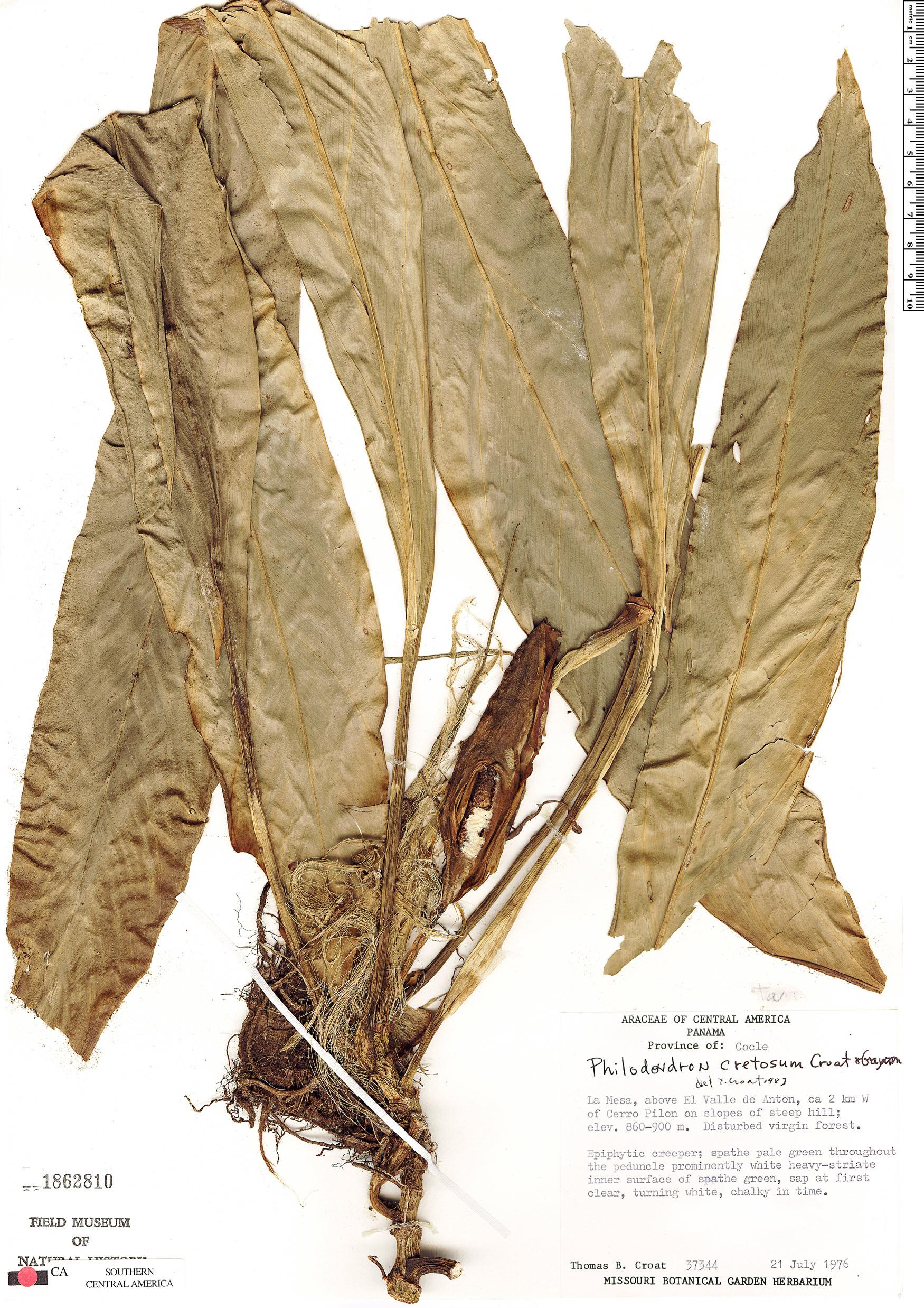 Specimen: Philodendron cretosum