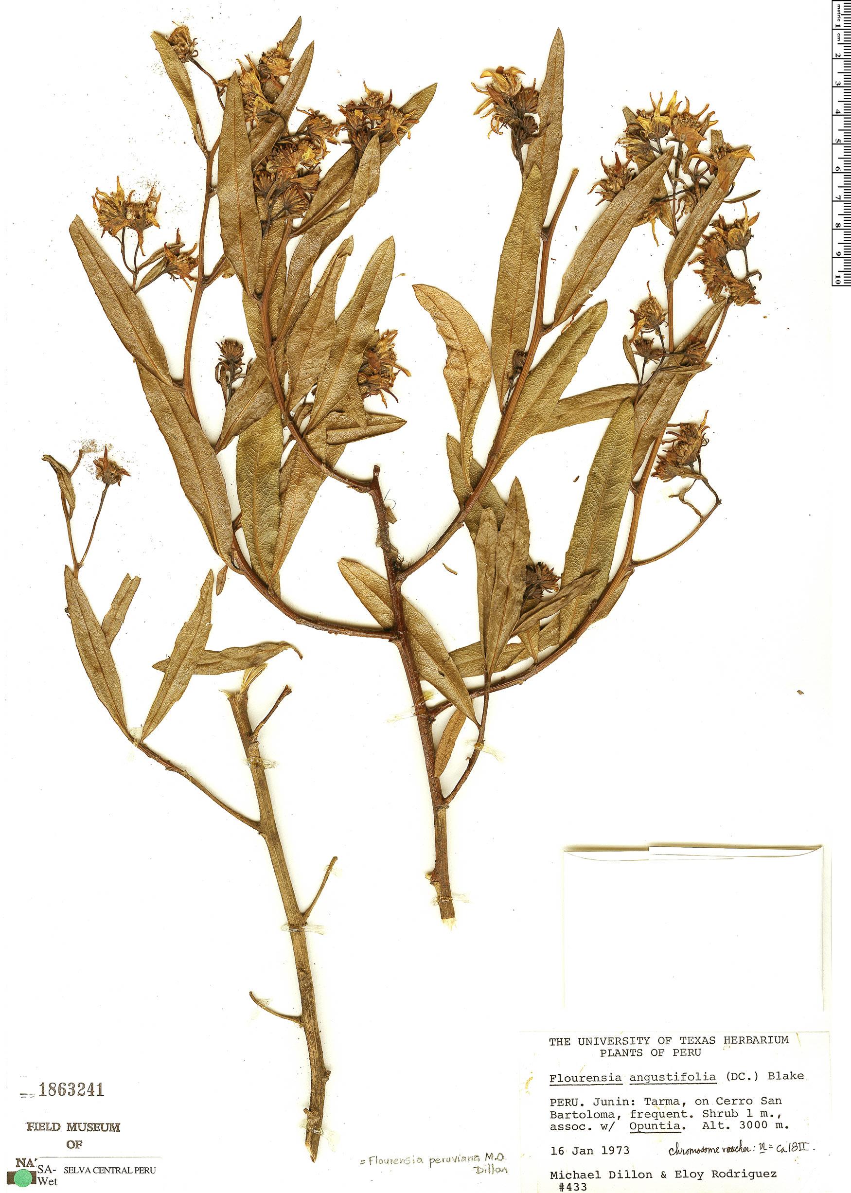 Specimen: Flourensia angustifolia