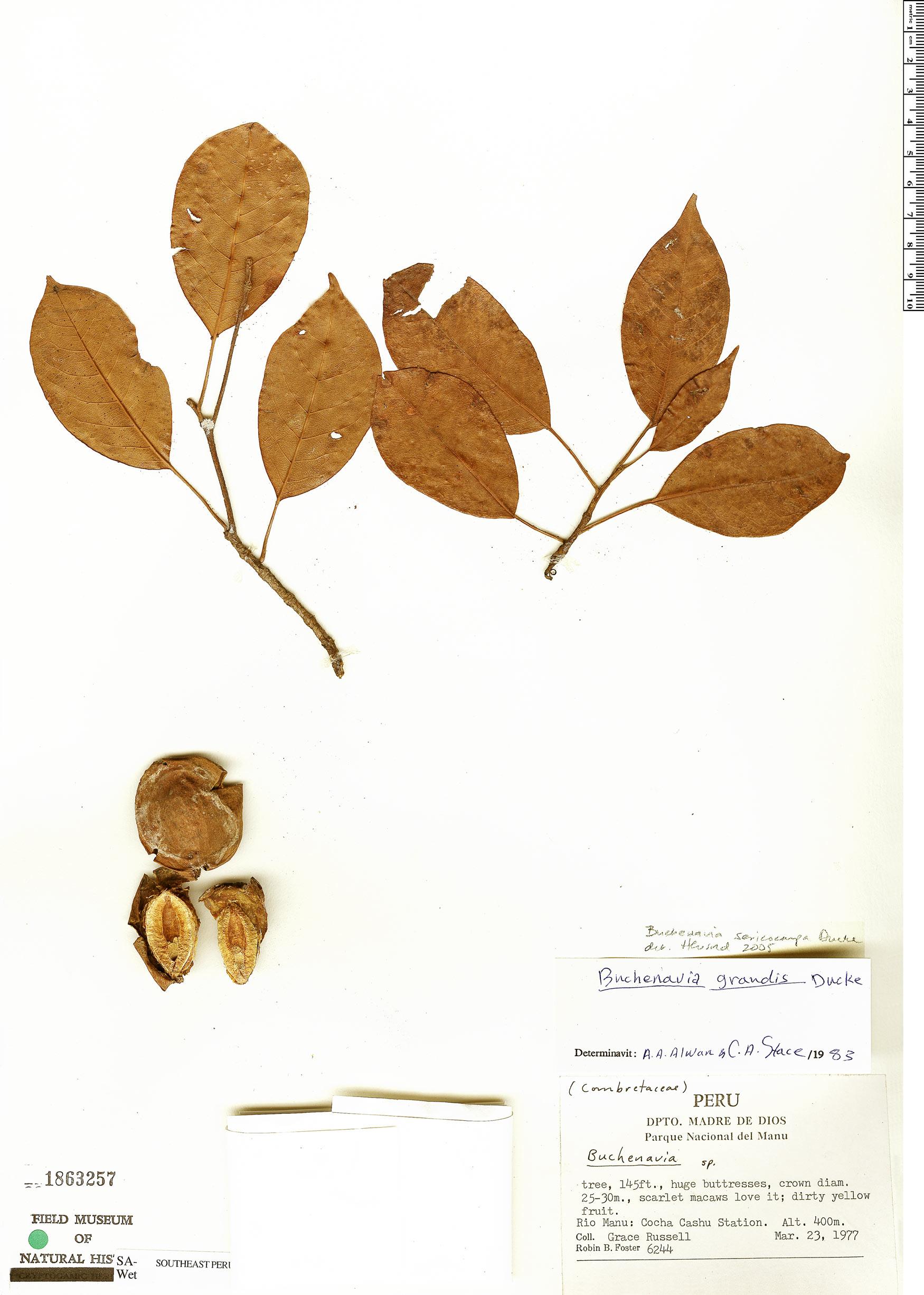 Specimen: Buchenavia sericocarpa