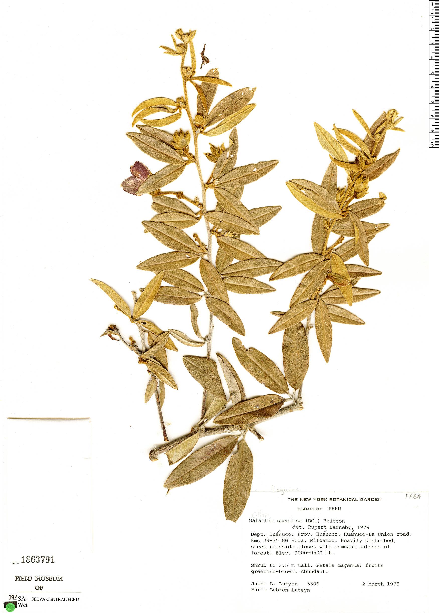 Specimen: Collaea speciosa