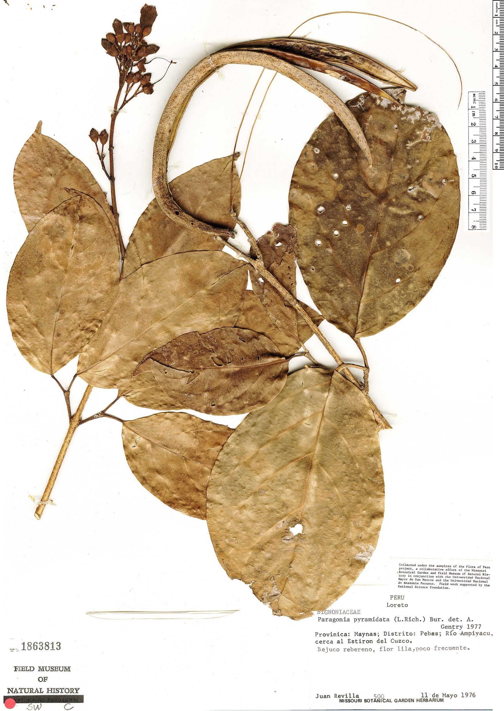 Specimen: Tanaecium pyramidatum