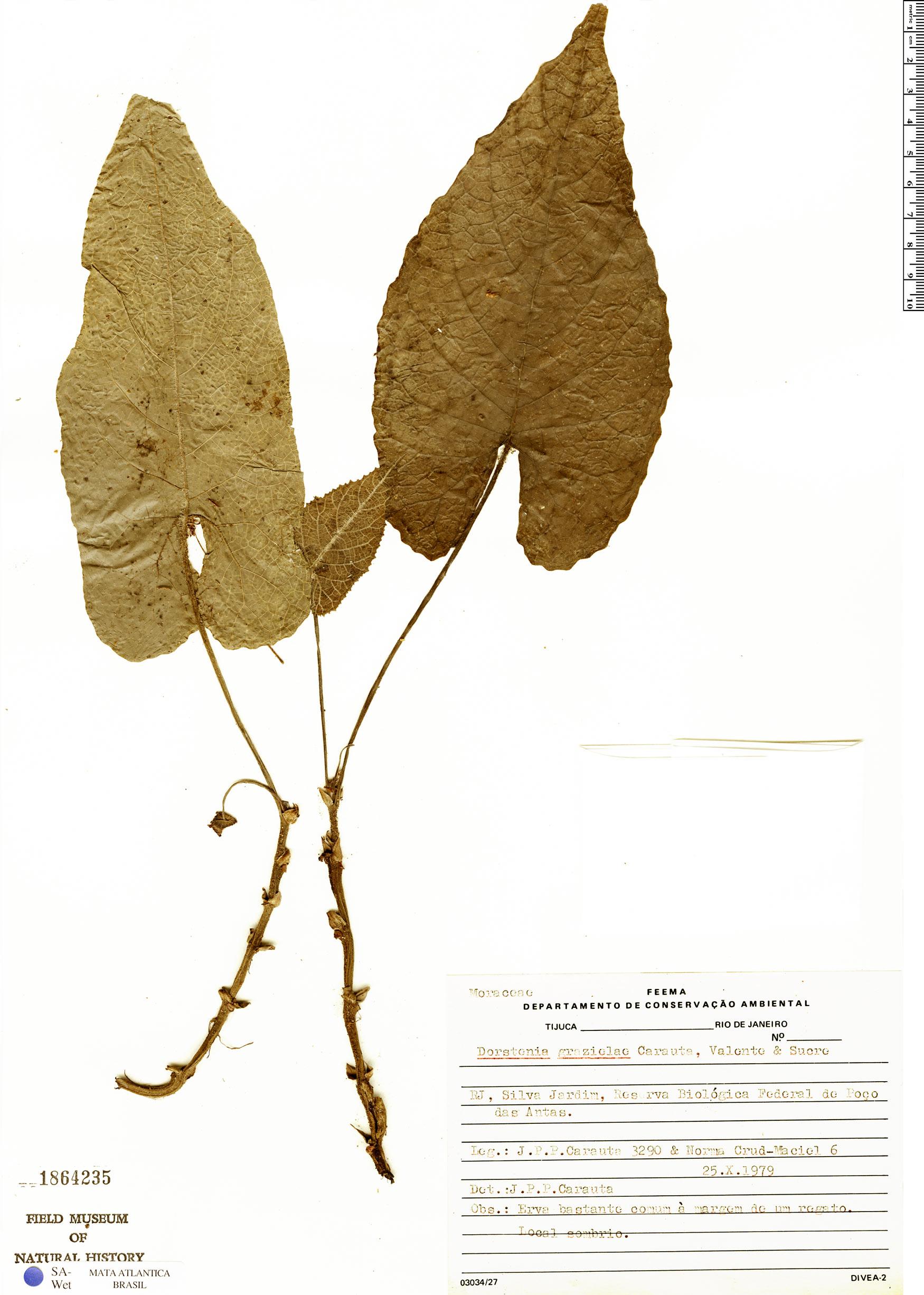 Specimen: Dorstenia grazielae