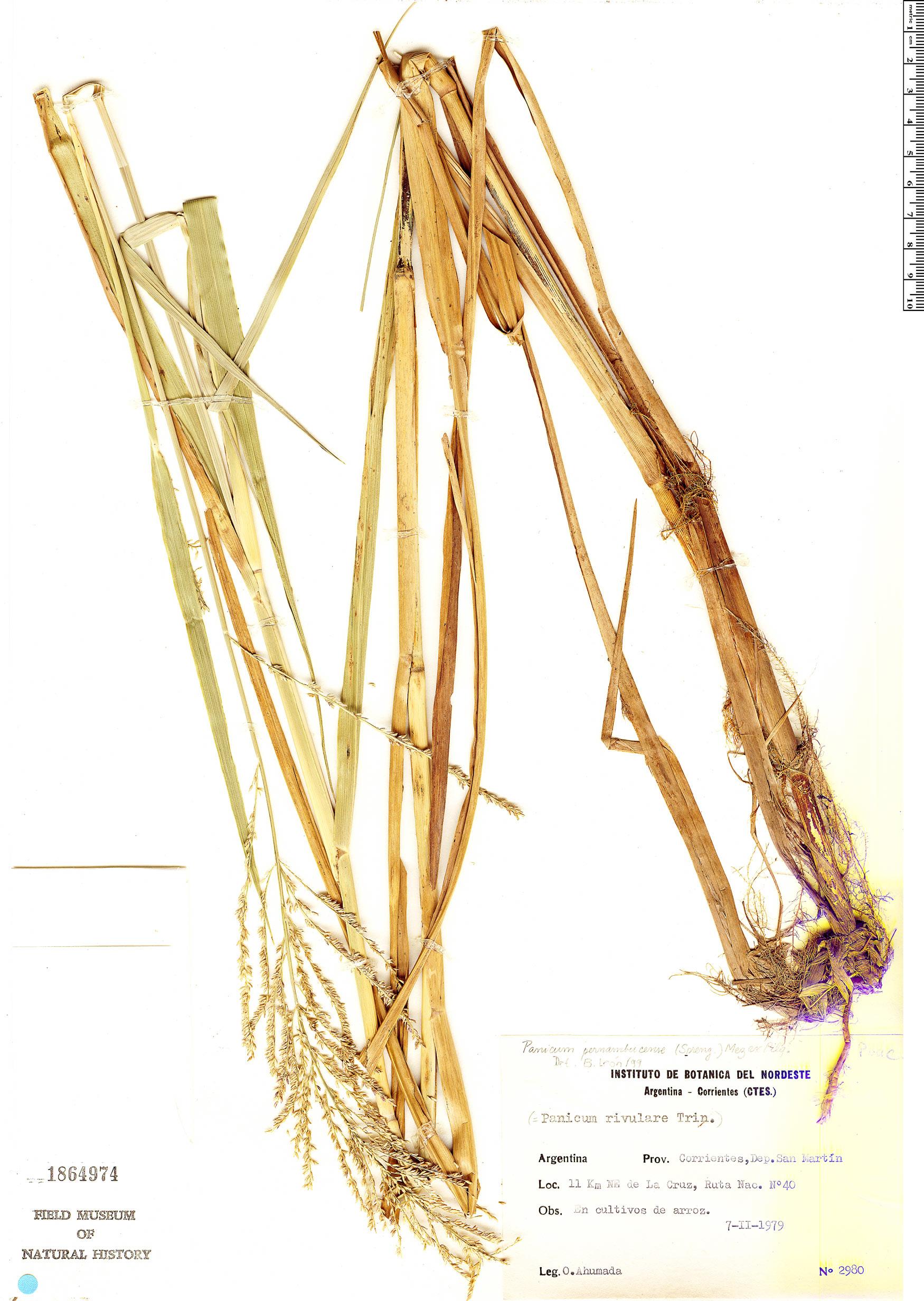 Espécimen: Hymenachne pernambucensis