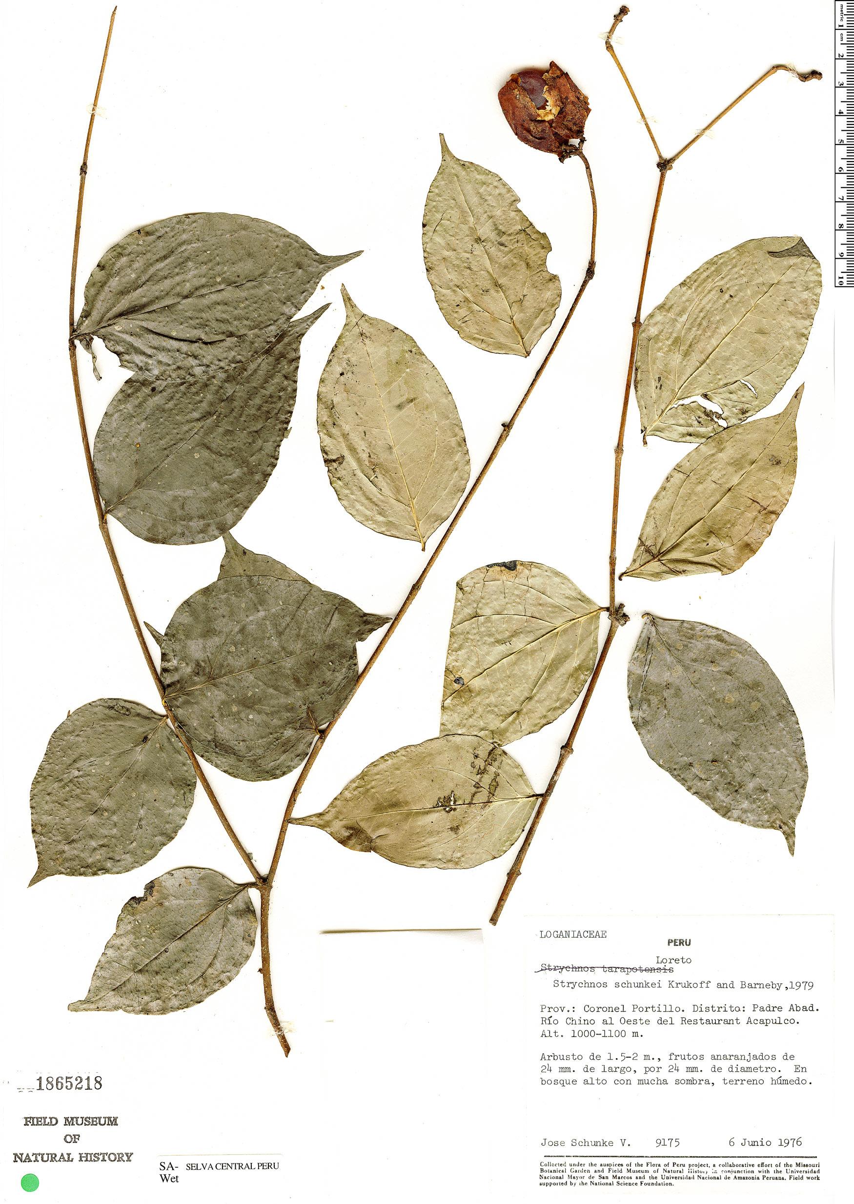 Espécimen: Strychnos schunkei