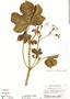 Cnidoscolus urens (L.) Arthur, Costa Rica, G. Webster 12084, F