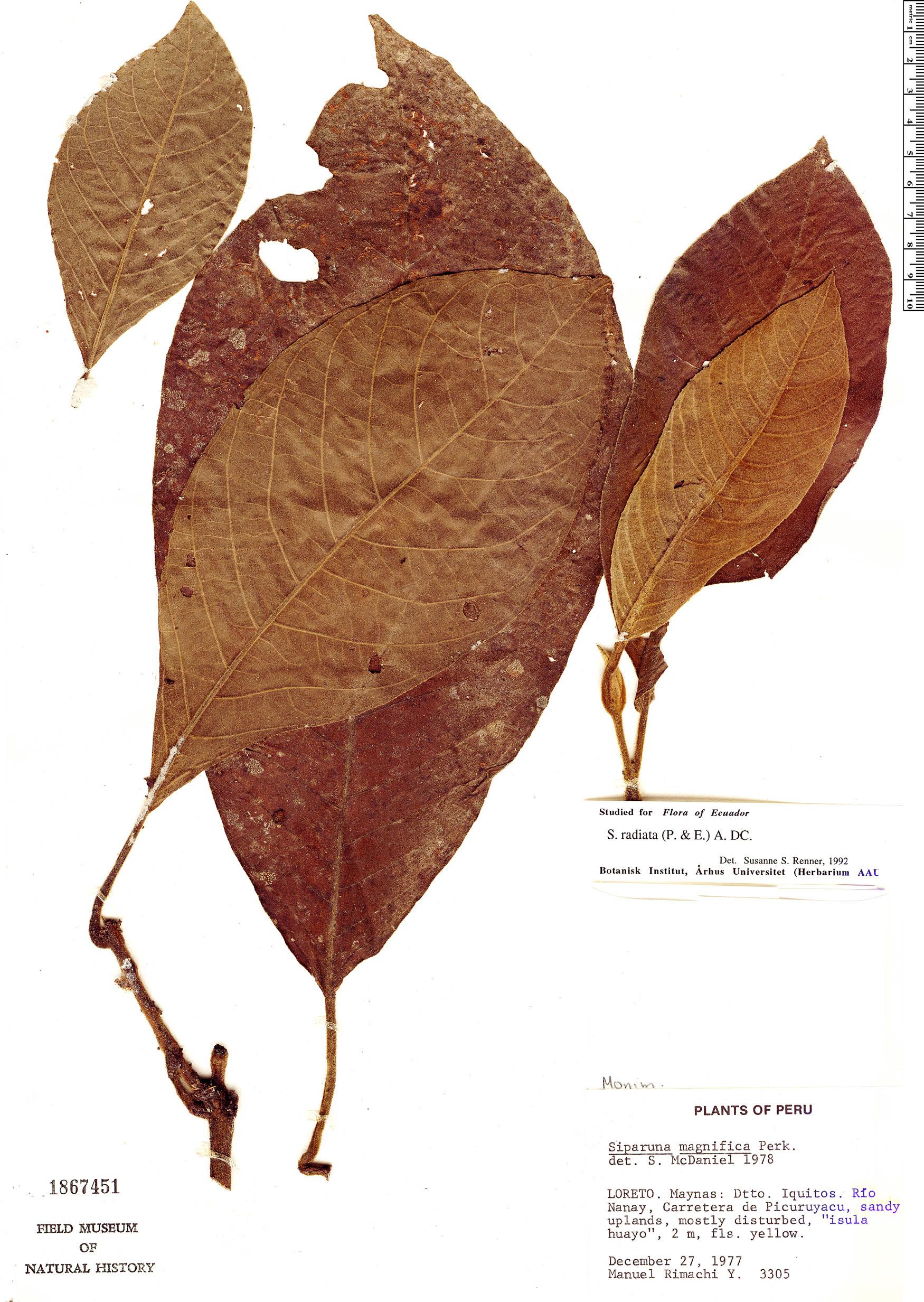 Specimen: Siparuna sessiliflora