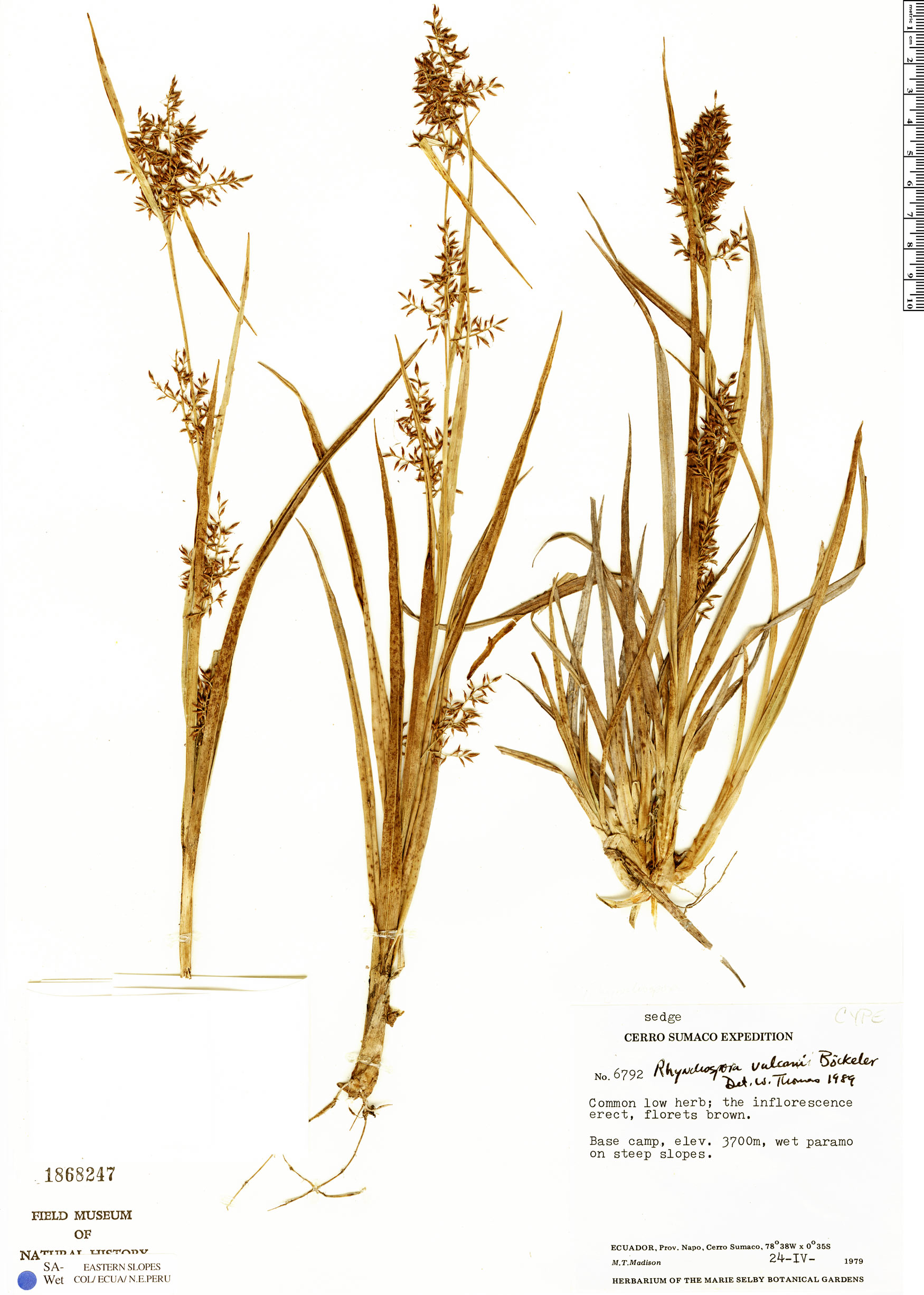 Specimen: Rhynchospora vulcani