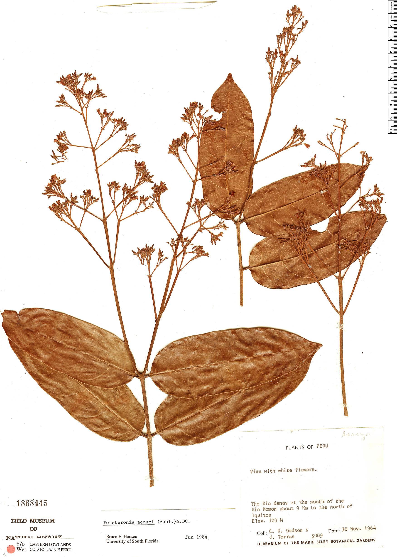 Specimen: Forsteronia acouci