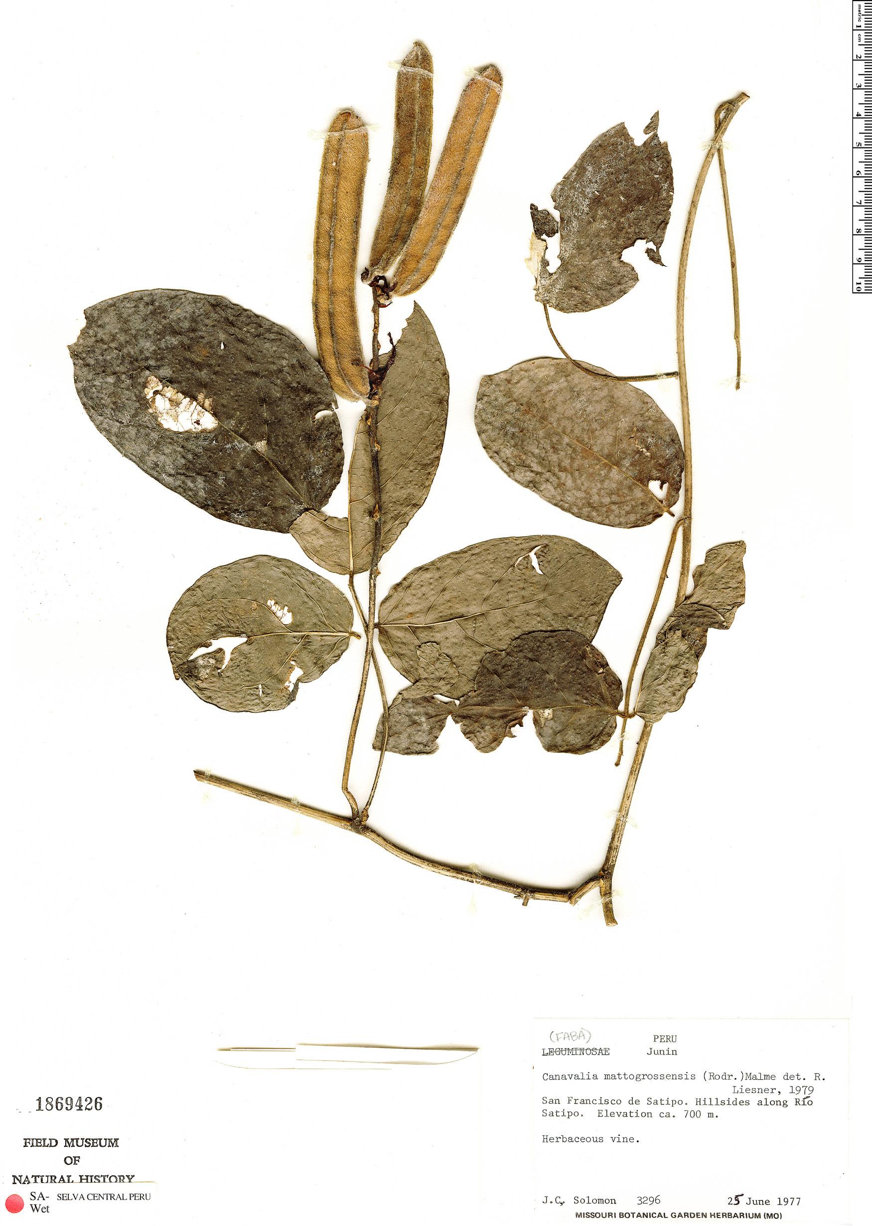 Specimen: Canavalia mattogrossensis