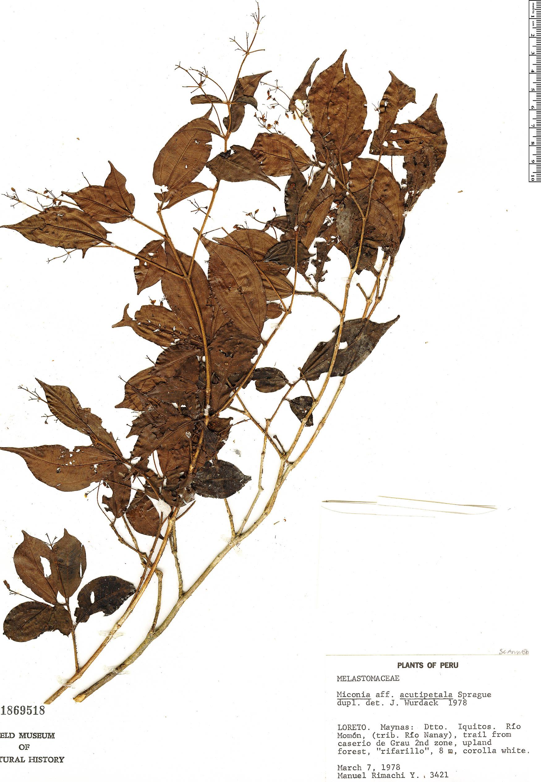 Specimen: Miconia subulipetala