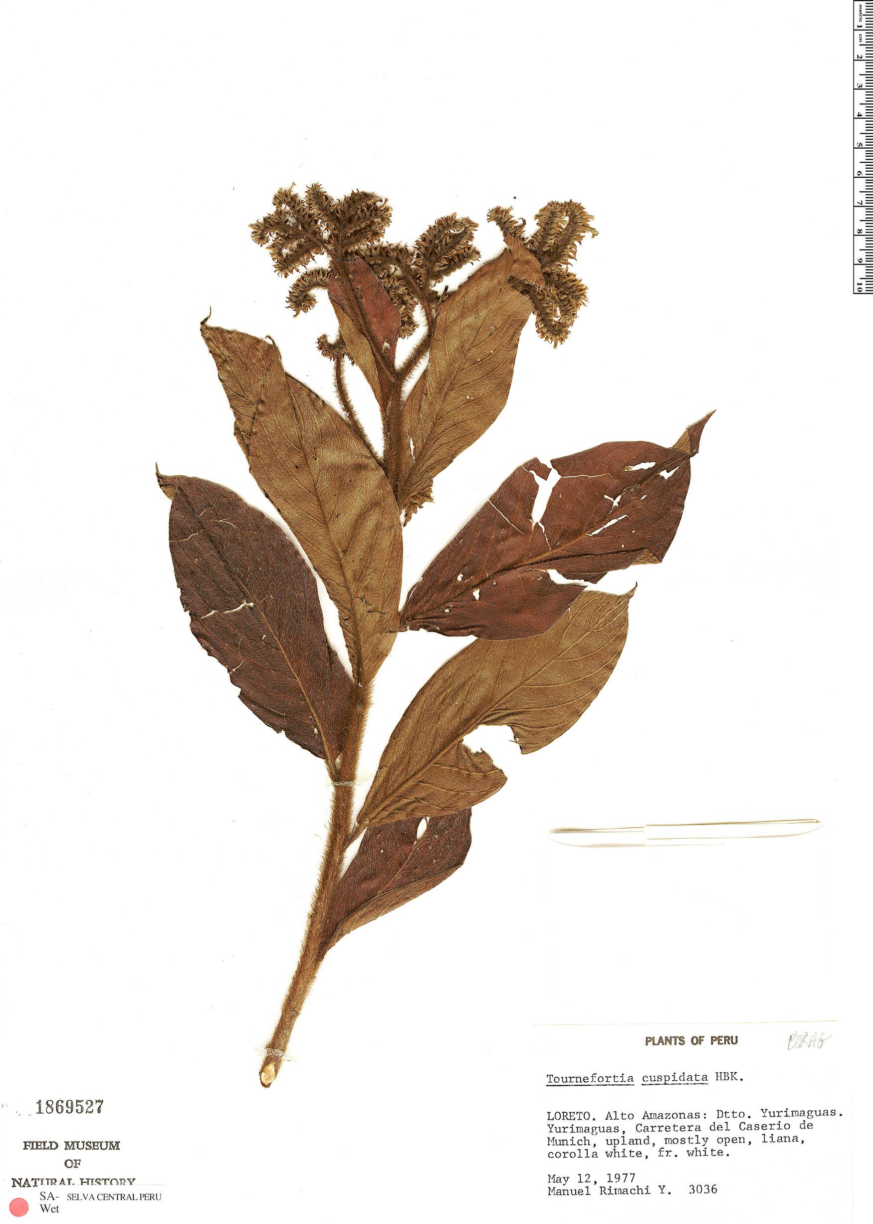 Specimen: Tournefortia cuspidata