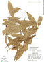 Duguetia quitarensis Benth., Peru, M. Rimachi Y. 3159, F