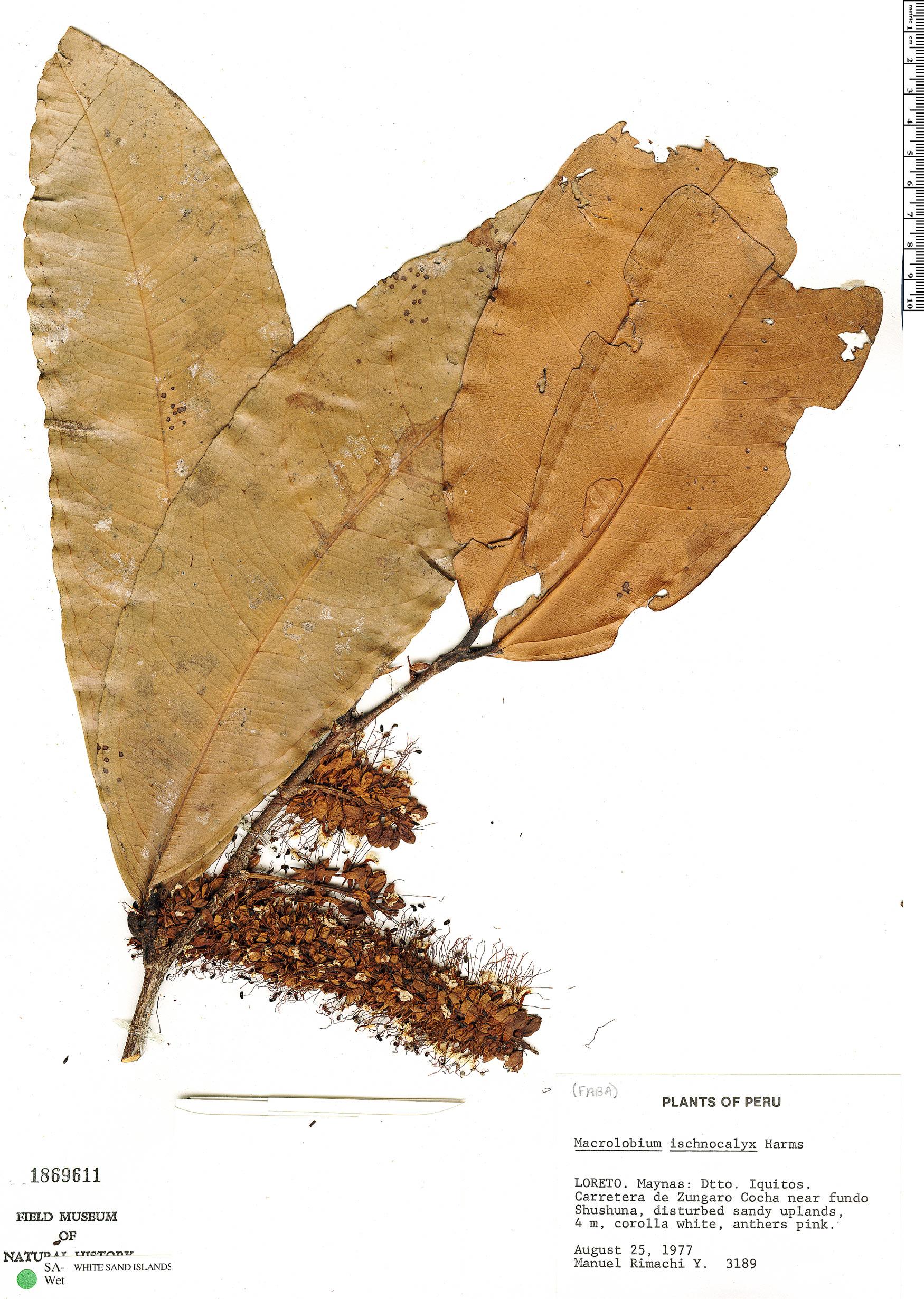Espécime: Macrolobium limbatum