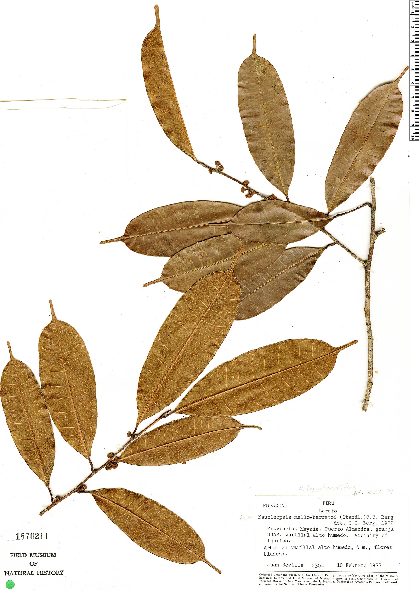 Specimen: Naucleopsis oblongifolia
