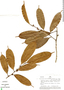 Naucleopsis ternstroemiiflora (Mildbr.) C. C. Berg, Peru, J. Revilla 2304, F