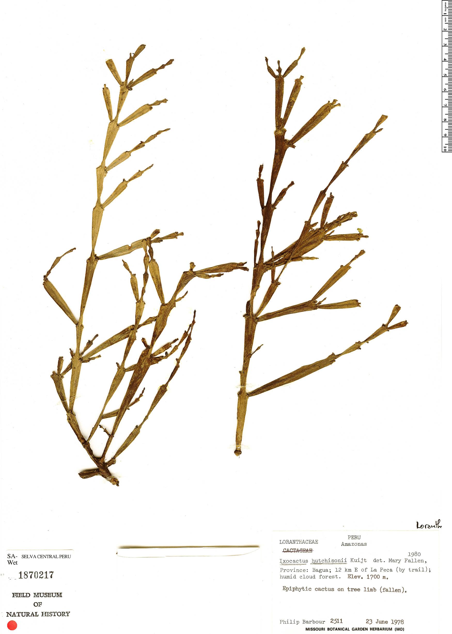 Specimen: Phthirusa hutchisonii