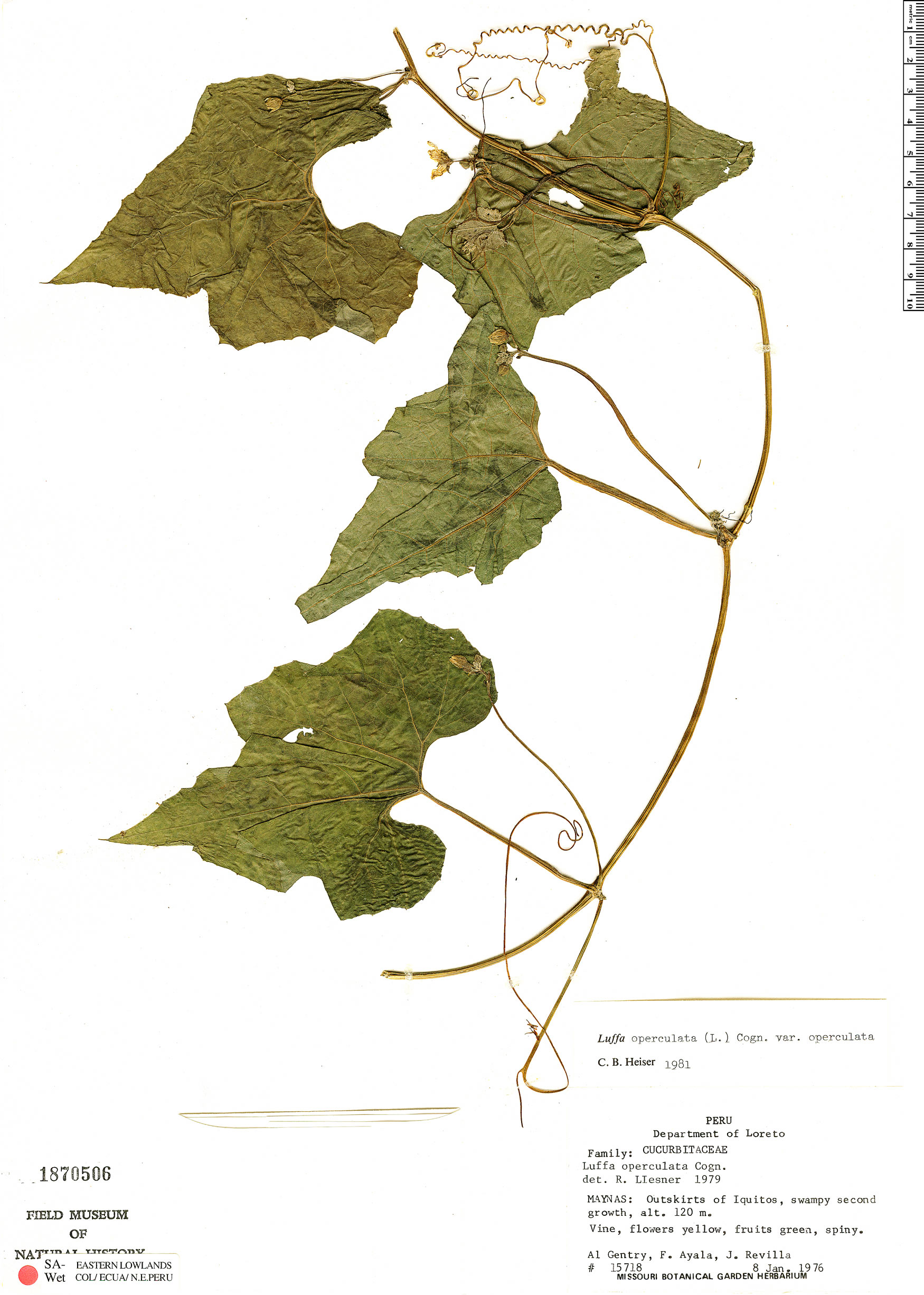 Luffa sepium image