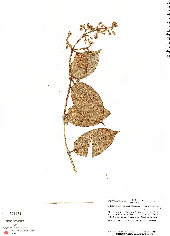 Espécimen: Adelobotrys klugii