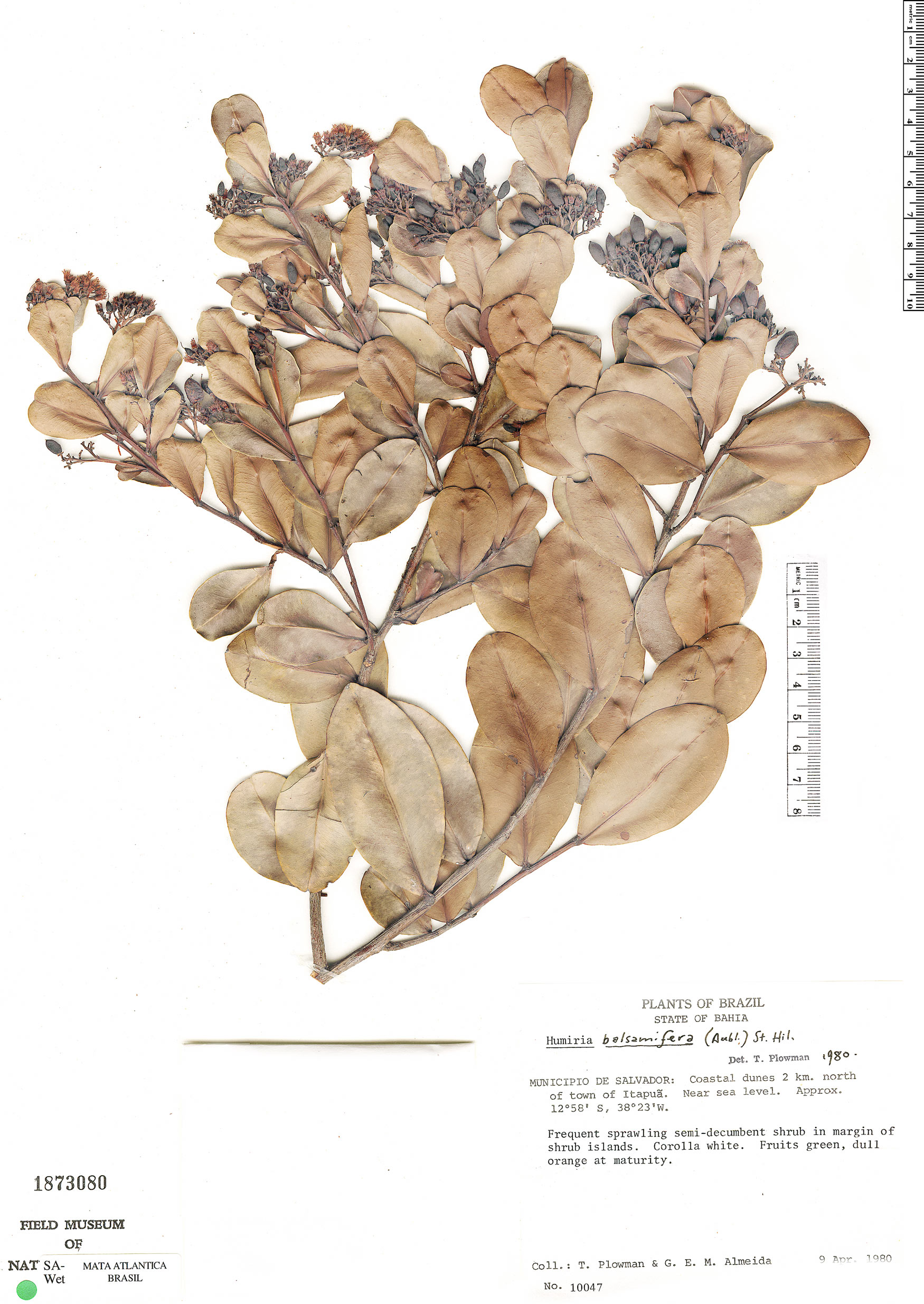 Specimen: Humiria balsamifera