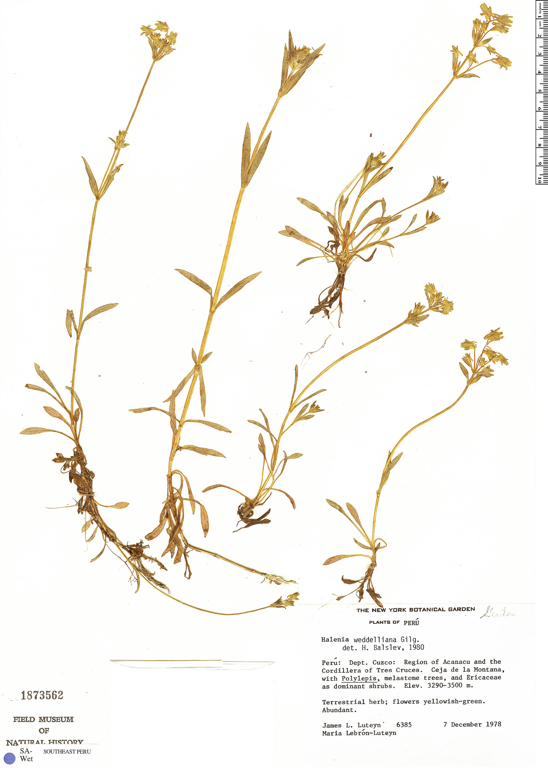 Specimen: Halenia weddelliana