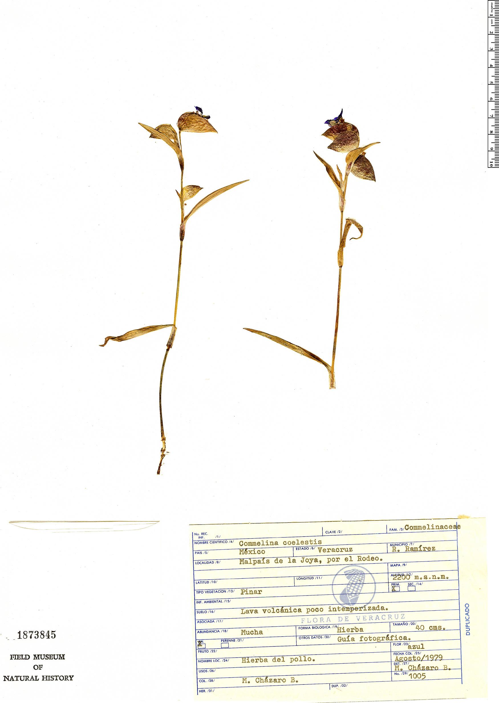 Commelina tuberosa image