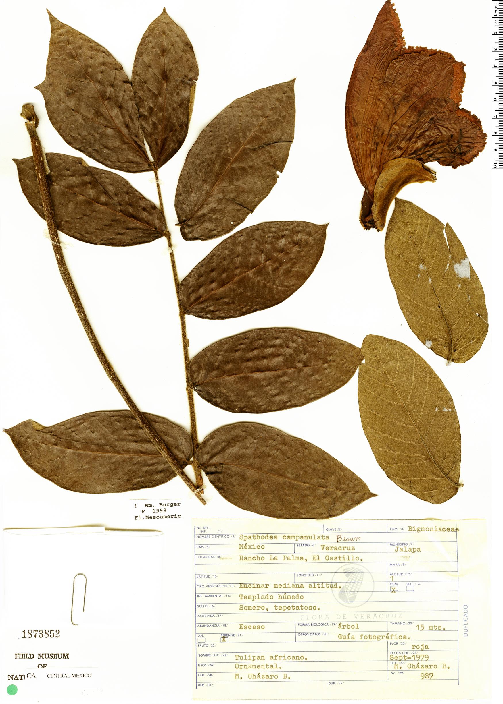 Specimen: Spathodea campanulata