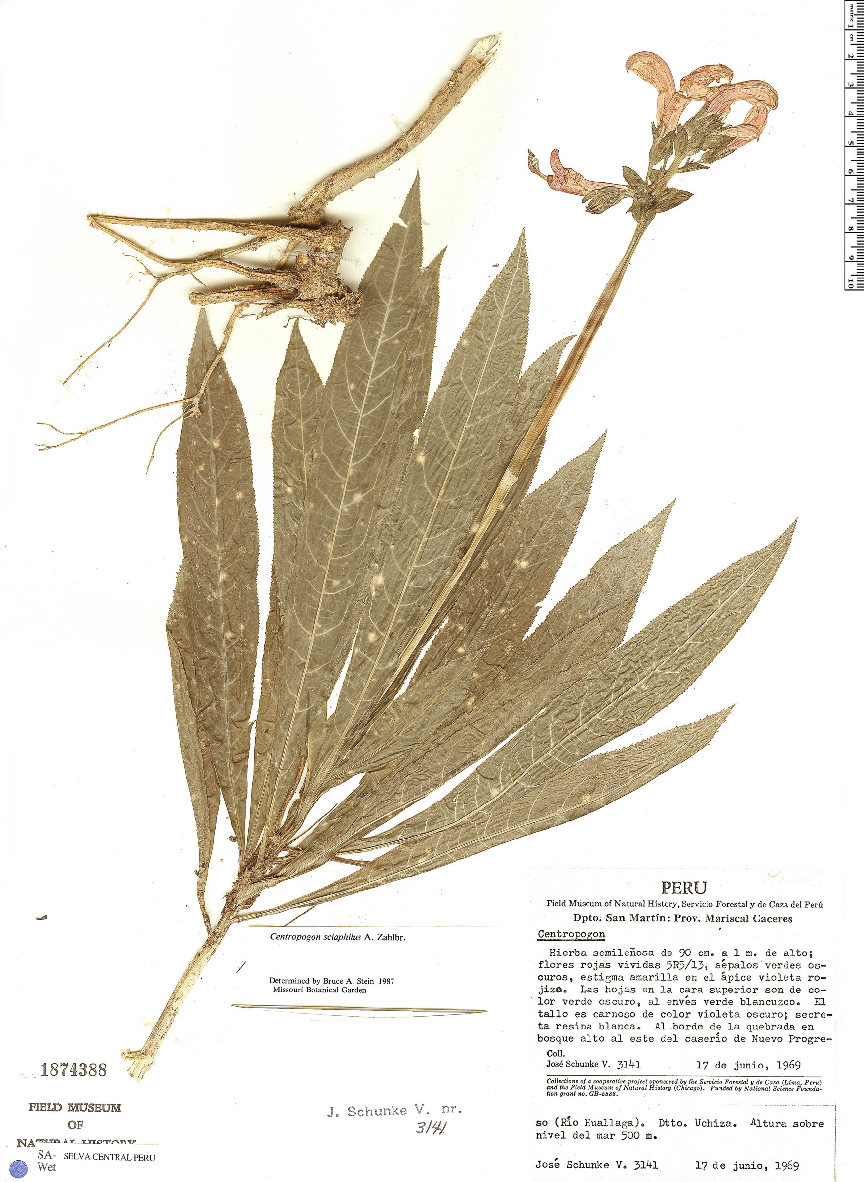 Specimen: Centropogon sciaphilus