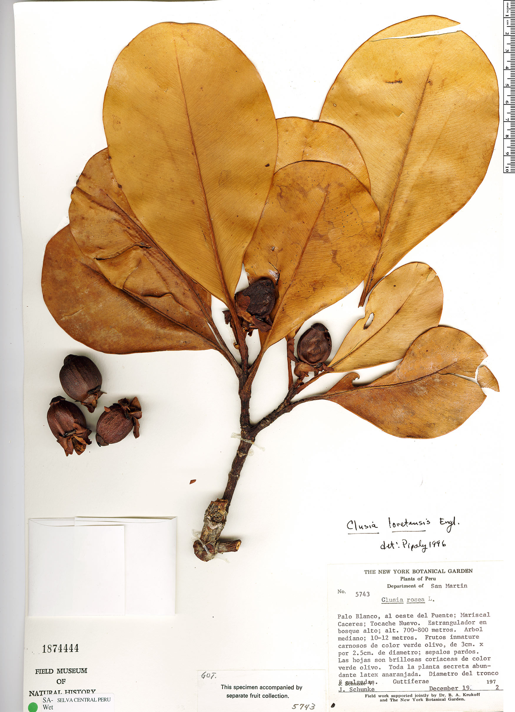 Espécimen: Clusia loretensis