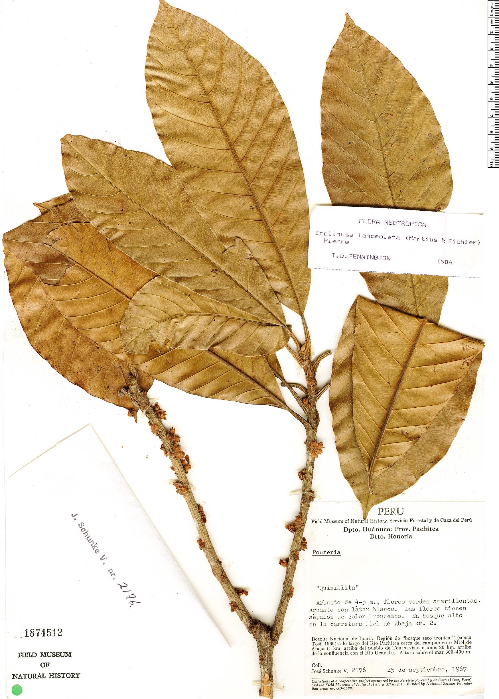 Specimen: Ecclinusa lanceolata