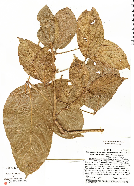 Specimen: Paullinia sprucei