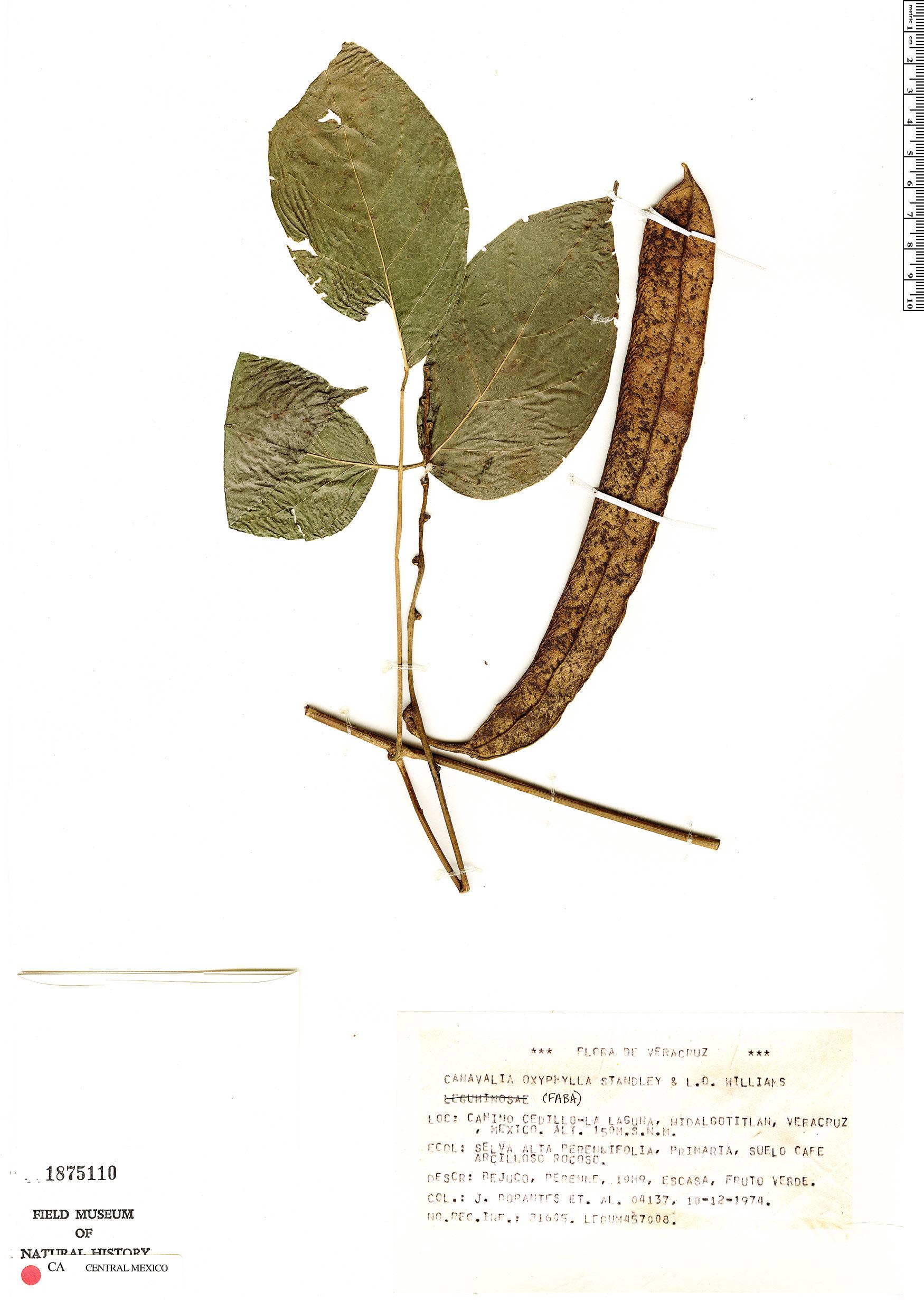 Specimen: Canavalia oxyphylla