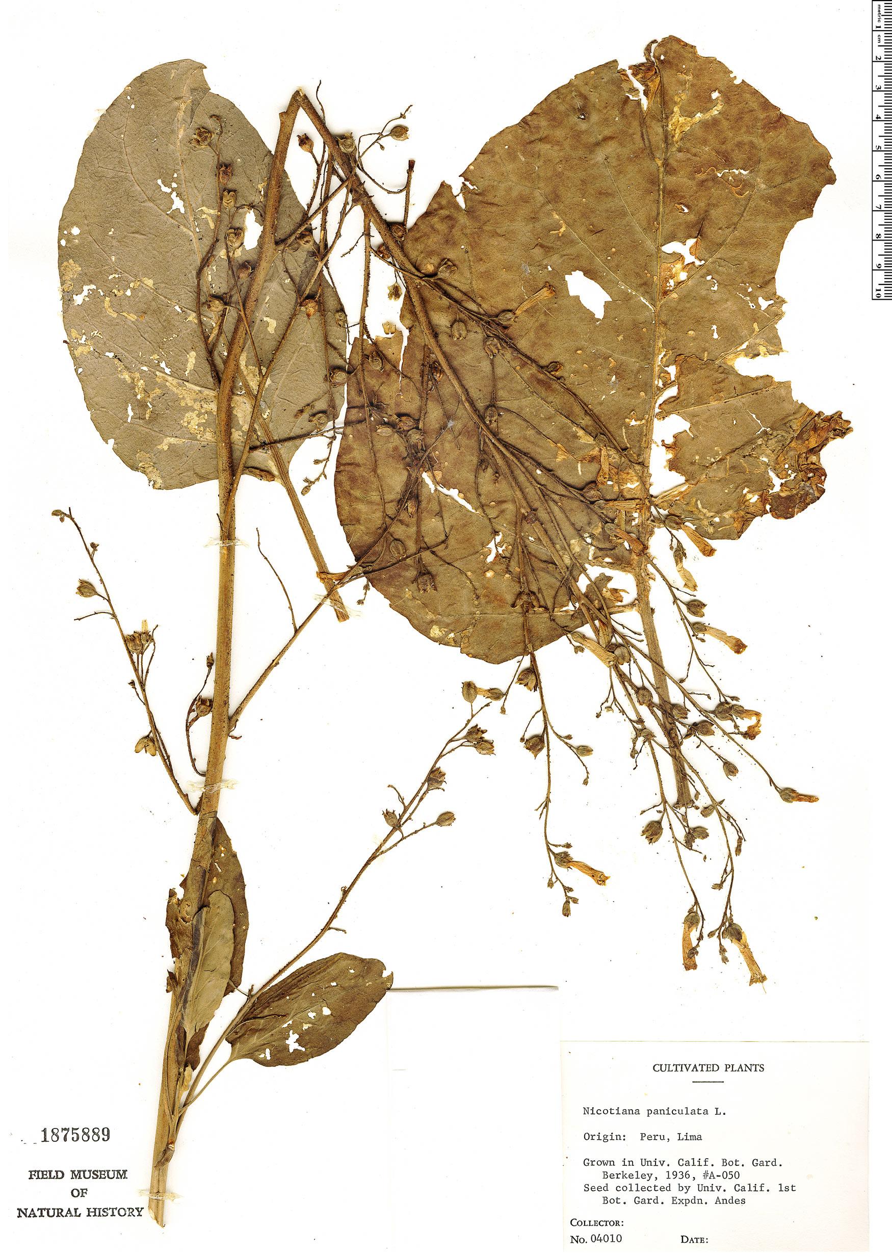 Specimen: Nicotiana paniculata
