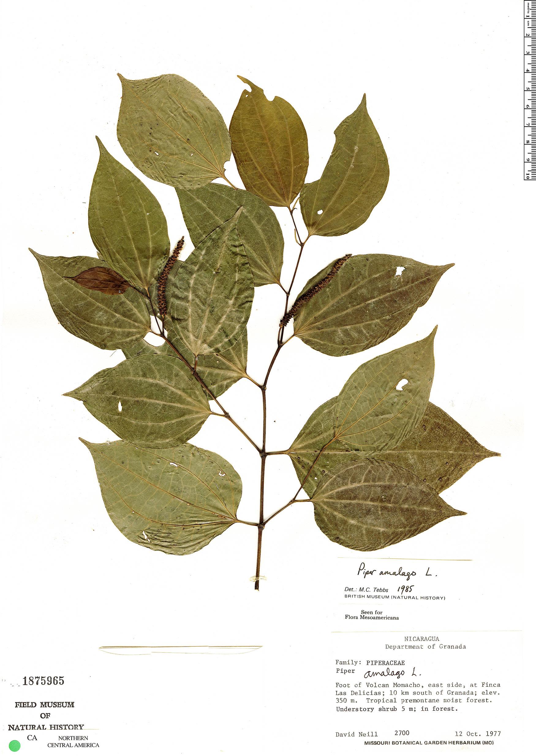 Espécimen: Piper amalago