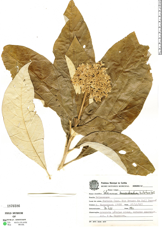 Specimen: Solanum bullatum
