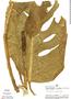 Monstera adansonii Schott, Peru, C. Díaz S. 54, F