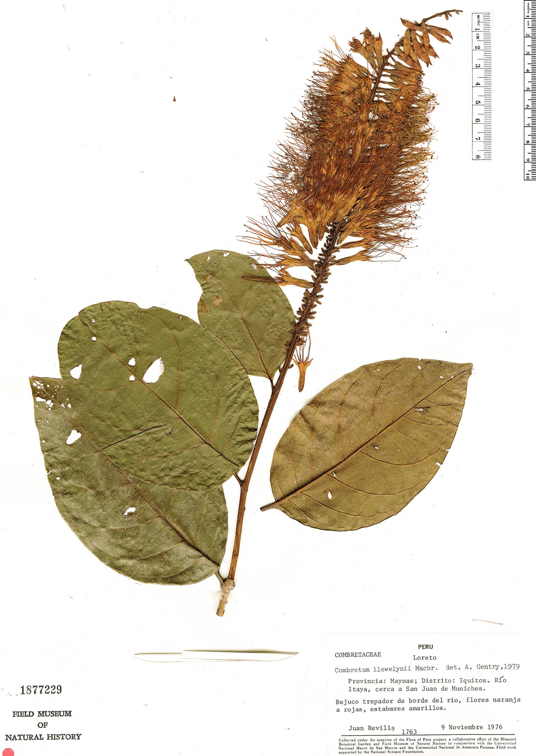 Specimen: Combretum llewelynii