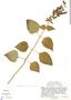 Salvia mexicana var. mexicana, Mexico, J. L. Reveal 4200, F