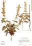 Salvia mexicana var. minor, Mexico, J. L. Reveal 4140, F
