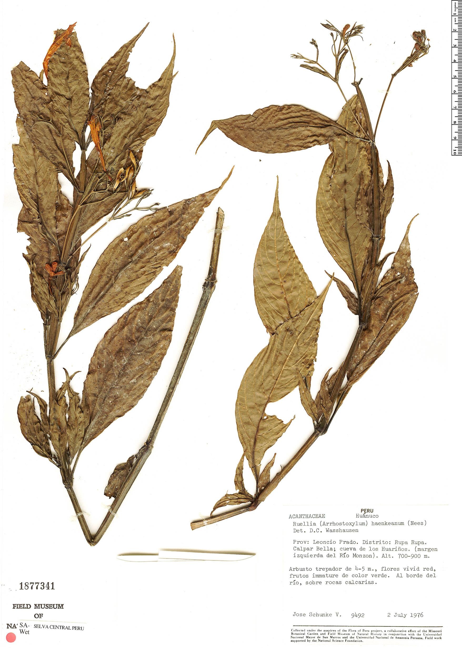 Espécime: Ruellia haenkeana