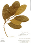 Pouteria subrotata, Venezuela, J. A. Steyermark 112703, F