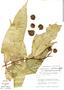 Myrcia zetekiana (Standl.) B.Holst, Panama, H. A. Kennedy 3475, F